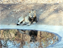 Asian lion at a waterhole, Gir Forest, India